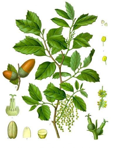 quercus_suber_-_kohler-s_medizinal-pflanzen-254